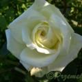 Rose Polarstern