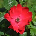 Rose Prickly Red