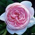Rose Queen of Sweden