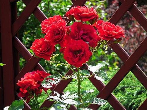 rose rosa 39 sympathie 39 pflanzen enzyklop die. Black Bedroom Furniture Sets. Home Design Ideas