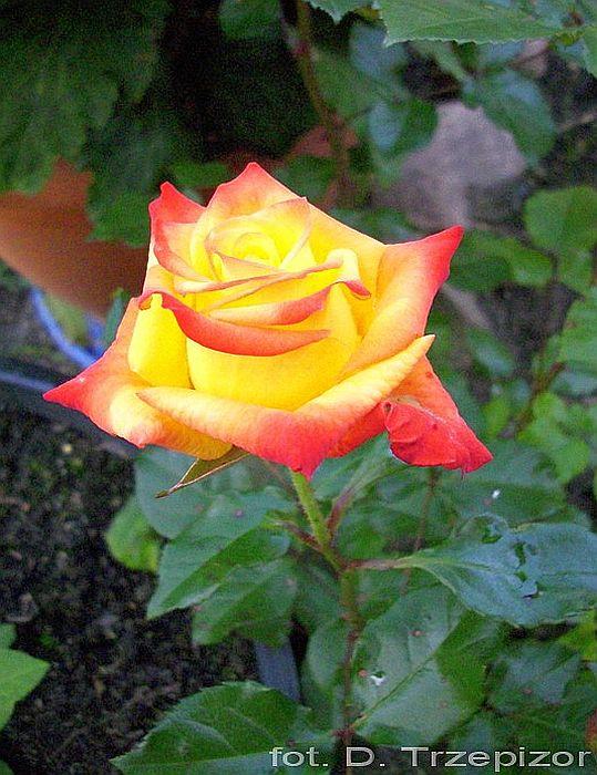 Rose Rumba