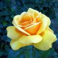 Rose Navoika