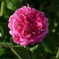 Rose Rose de Resht