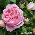 Rose Rosenfee