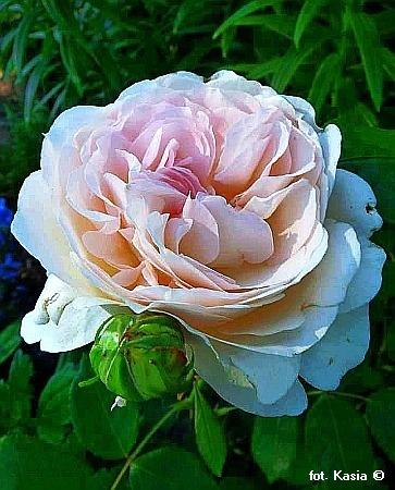 rose rosa 39 sebastian kneipp 39 pflanzen enzyklop die. Black Bedroom Furniture Sets. Home Design Ideas