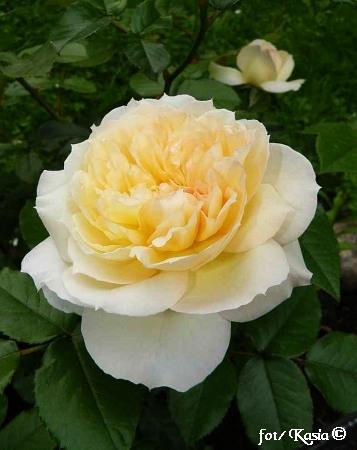 Rose Tchaikovsky