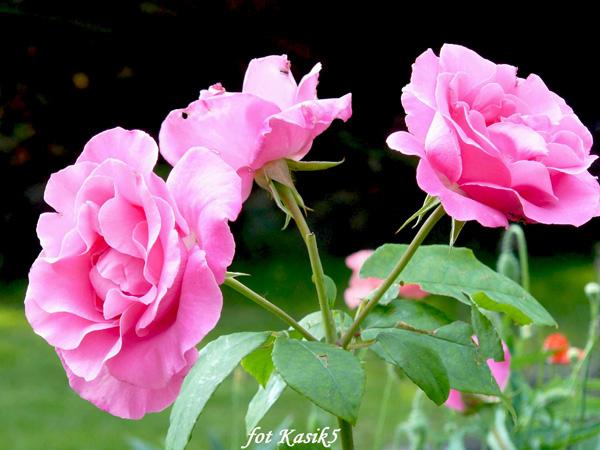 Rose McCartney Rose