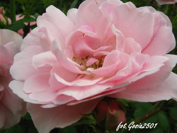 Rose Bonica82
