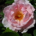 Rose Brother Cadfael