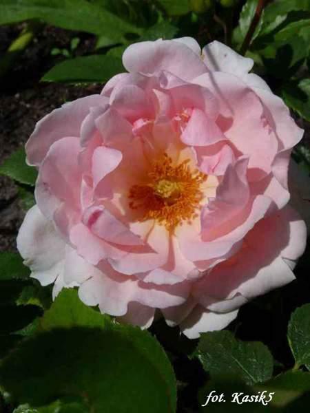 Rose Brother Cadfael