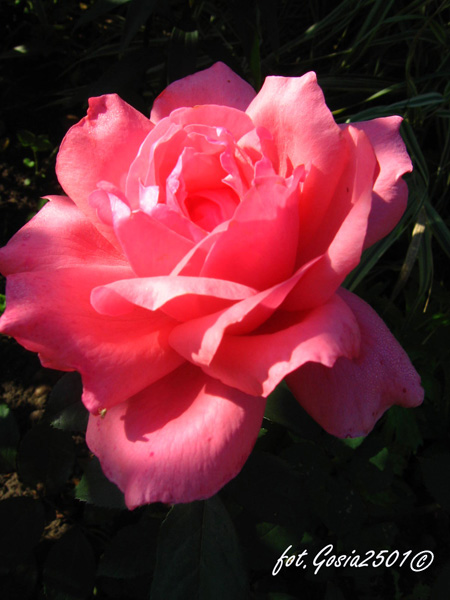 Rose Carina