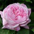 Rose Her Majesty