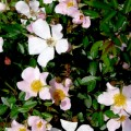 Rose Nozomi