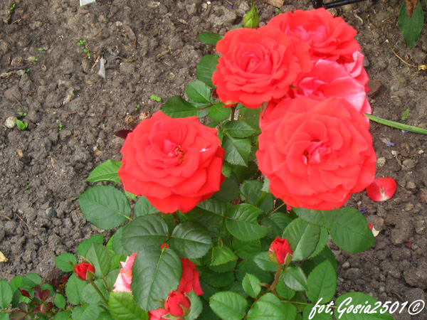 Rose Olympisches Feuer