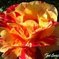Rose Caribia