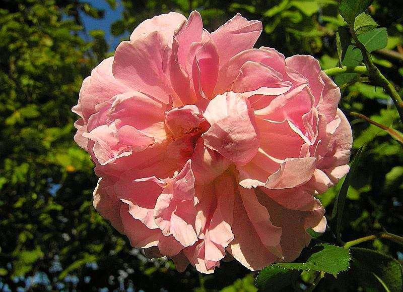 Rose Cottage Rose