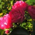 Rose Lovely Fairy