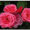 Rose Pink Perpetue