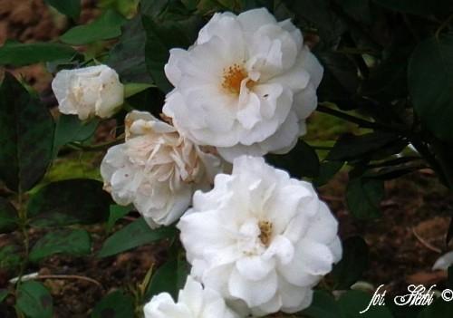 rose rosa 39 schneewittchen 39 pflanzen enzyklop die. Black Bedroom Furniture Sets. Home Design Ideas
