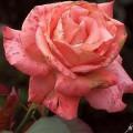 Rose Tzigane