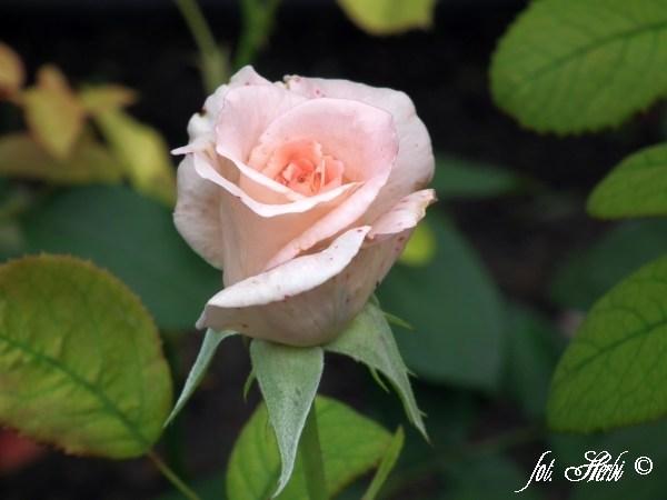 Rose Rokoko