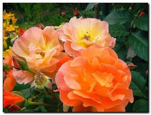 rose rosa 39 westerland 39 pflanzen enzyklop die. Black Bedroom Furniture Sets. Home Design Ideas