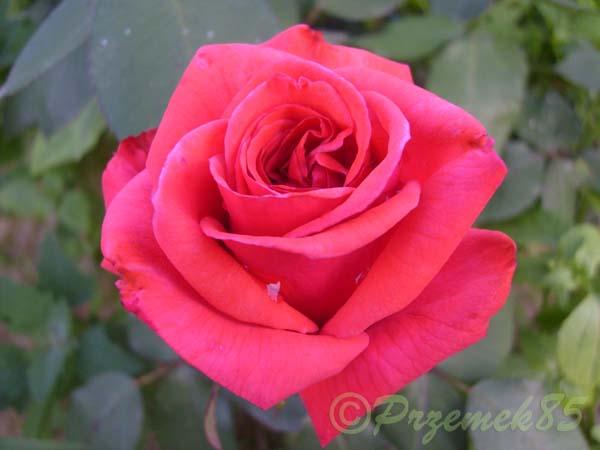 Rose Queen of Bermuda