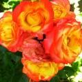 Rose Samba