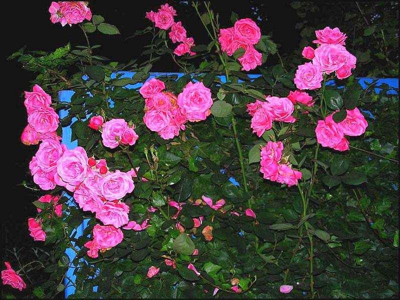 Rose Rosarium Uetersen