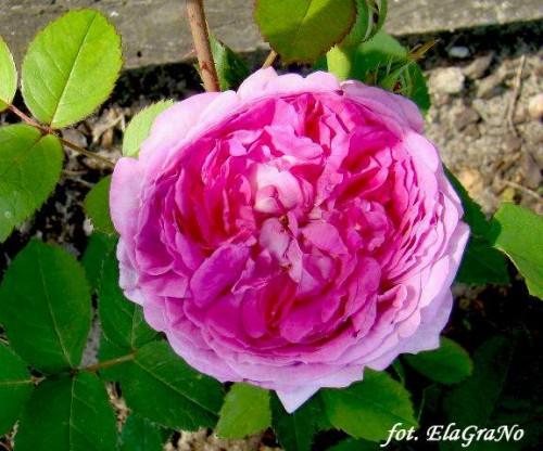 rose rosa 39 reine des violettes 39 pflanzen enzyklop die. Black Bedroom Furniture Sets. Home Design Ideas