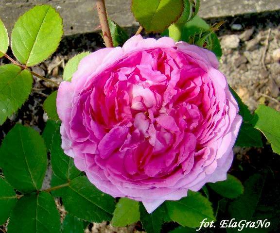 Rose Reine des Violettes