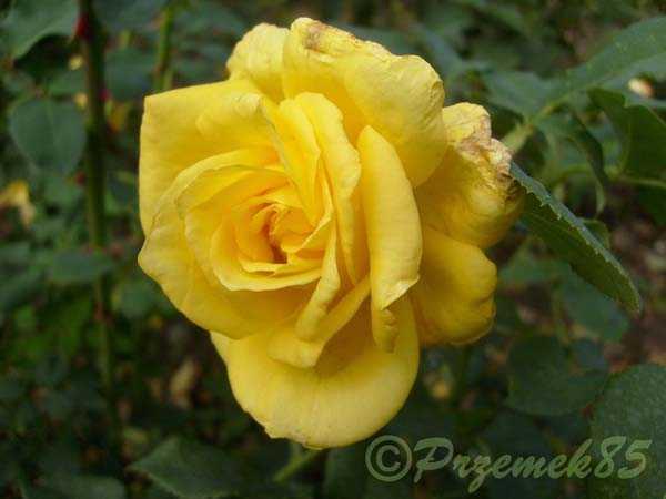 Rose Royal Gold