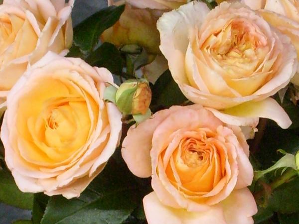 Rose Scented Memory