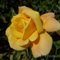 Rose Sutter's Gold
