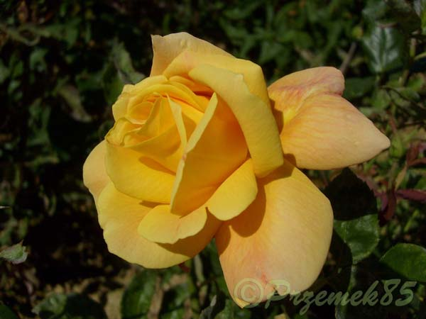 Rose Sutter's Gold