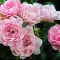 Rose The Fairy