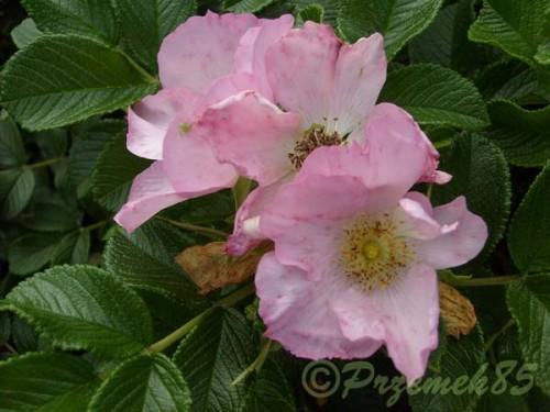 kartoffel rose rosa rugosa 39 dagmar hastrup 39 pflanzen enzyklop die. Black Bedroom Furniture Sets. Home Design Ideas