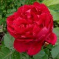 Rose Red Eden