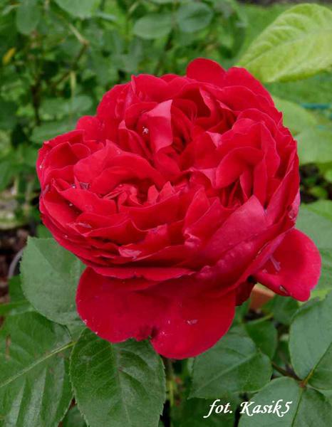 Rose Red Eden
