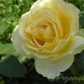 Rose Tivoli