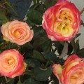 Rose Utopia