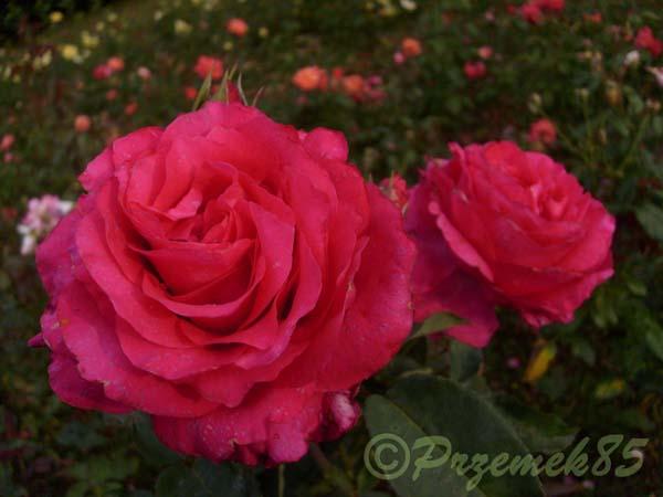 Rose Venrosa