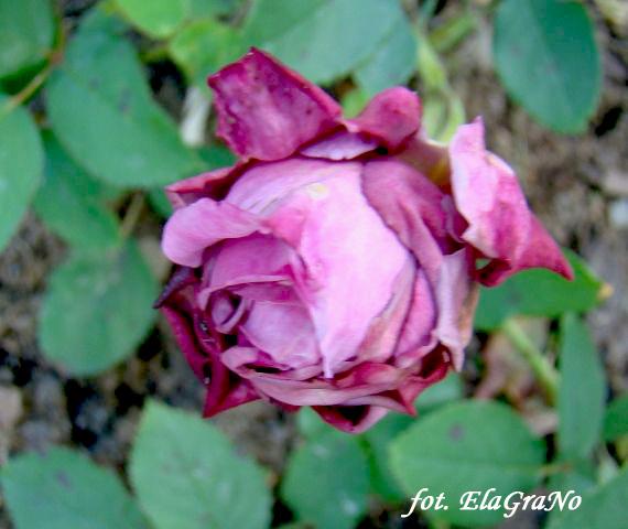 Rose Waltz Time