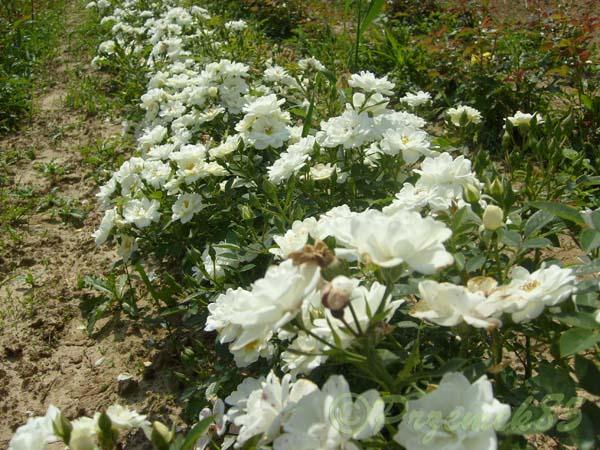 Rose White Cover