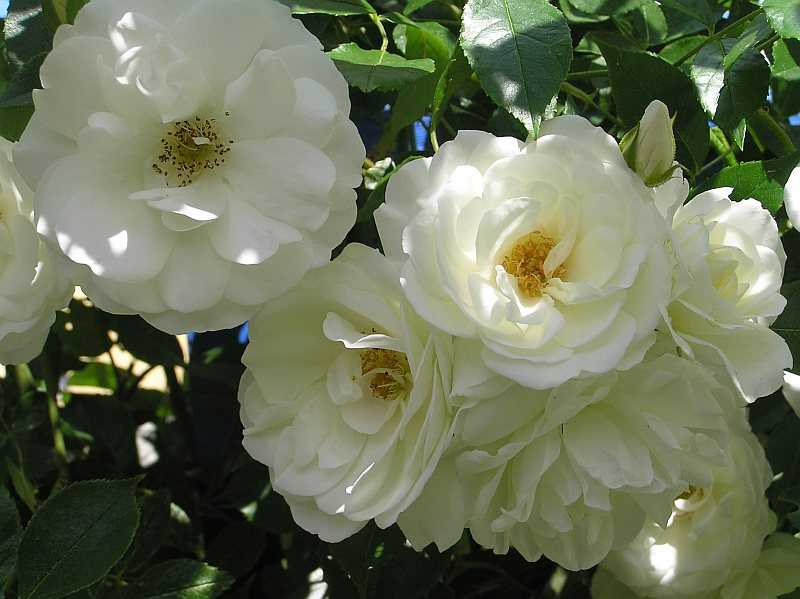 Rose White New Dawn