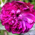 Rose Willia Shakespeare
