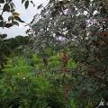 Rotblatt-Rose