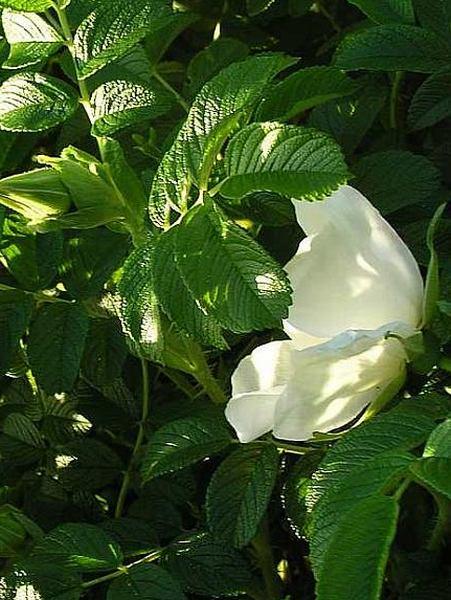 Kartoffel-Rose Alba