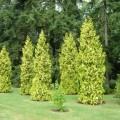 Abendländischer Lebensbaum Aurescens