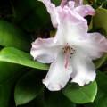 Rhododendron-Yakushimanum Blurettia